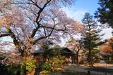 兼六園上坂口の桜