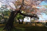 兼六園の山桜