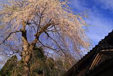 原の枝垂桜
