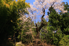 神明社の桜