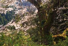 花尾の江戸彼岸桜
