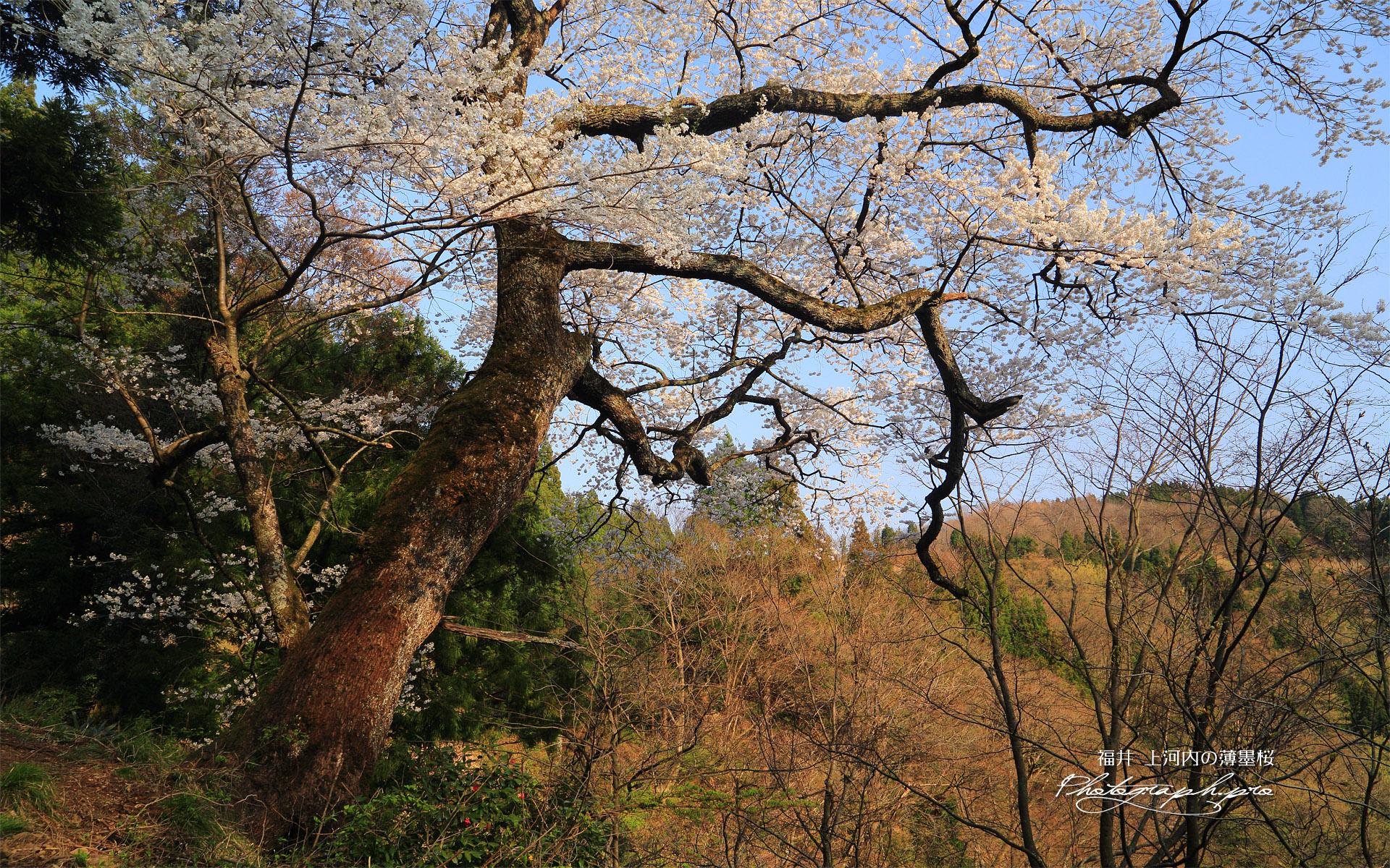上河内の薄墨桜