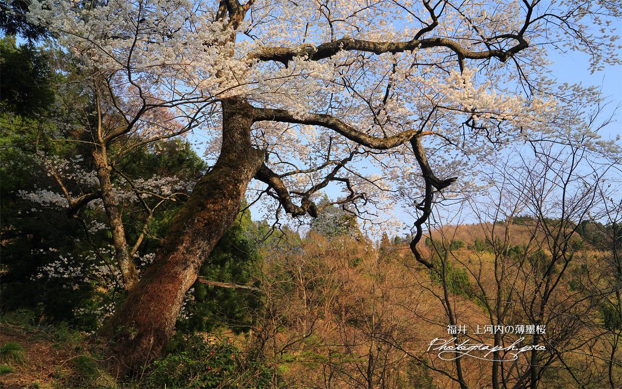 上河内の薄墨桜 壁紙