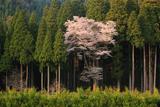 月ヶ瀬の麻蒔桜