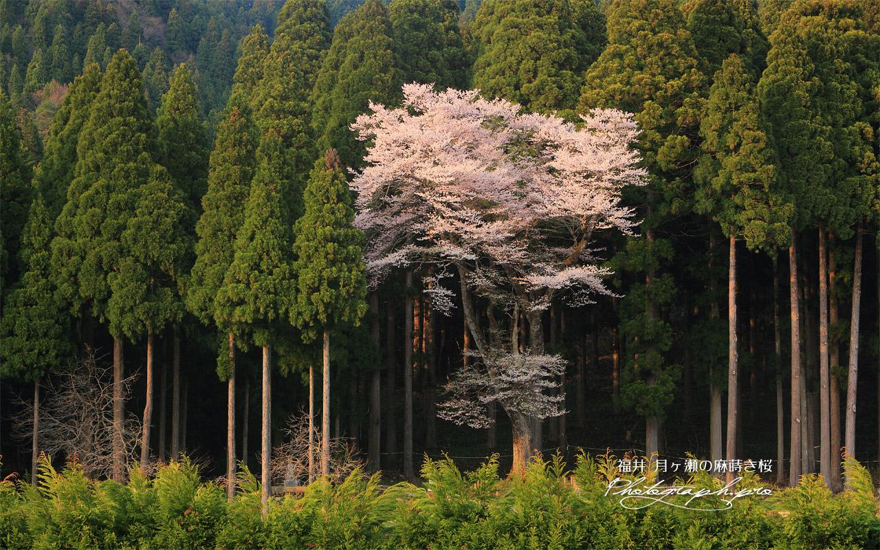 月ヶ瀬の麻蒔桜 壁紙