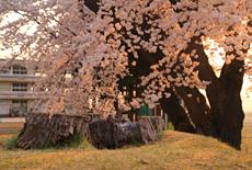 斐太南小学校の大桜
