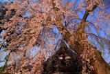 日朝寺のシダレザクラ