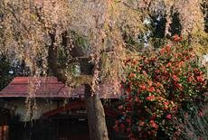医王寺のしだれ桜