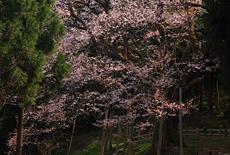 風巻神代桜