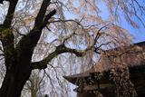 榮恩寺のしだれ桜
