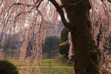 村松家のしだれ桜