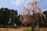 尾神のしだれ桜