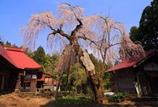 報恩寺のしだれ桜