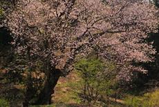 所山田の大桜