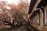 金沢城鶴丸倉庫の桜