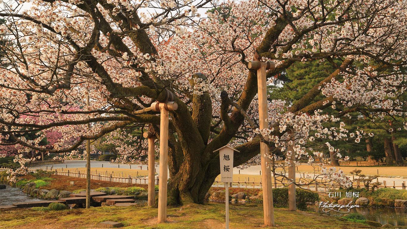 旭桜 壁紙