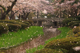 兼六園の花吹雪