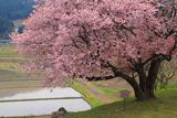 石休場安町のたおやめ桜