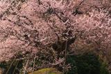天狗平の御所桜