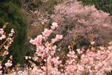 能登町 上河内集落のエドヒガン桜