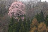能登町 上河内の大山桜