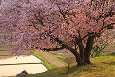 石川県の桜