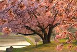 石休場安町のタオヤメ桜