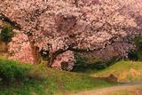 石休場安町の手弱女桜
