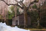 浄法寺の乳母桜