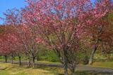 別保公園の八重桜