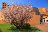 春採公園の千島桜