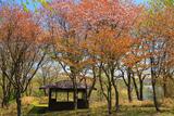 春採公園の蝦夷山桜