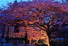 誠諦寺の桜