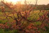 羅臼峠の千島桜