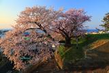 天神坂夫婦桜