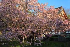 光善寺の血脈桜