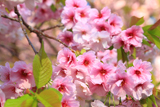 松前の血脈桜