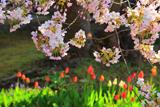龍雲院の蝦夷霞桜
