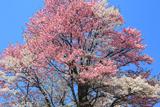 紅白夫婦桜