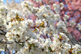 紅白咲き分けの桜