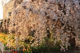 伊澤宅のしだれ桜