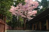 札幌市 開拓神社の一本桜