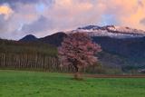上御料の桜
