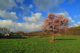 上御料の蝦夷山桜