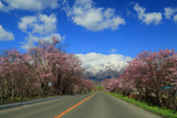 東大樹木園の桜