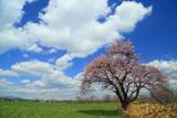 人舞の一本桜