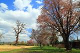 旧人舞小学校の桜