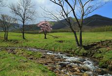 円山牧場の円山牧場の一本桜