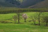 円山牧場の一本桜