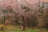 北新得墓地の桜